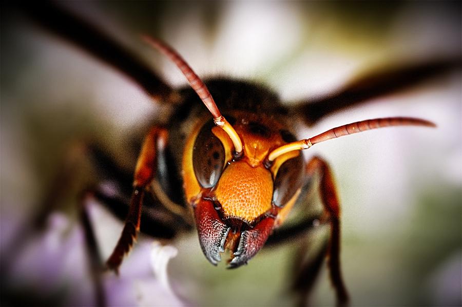 chinese giant hornet - 900×598